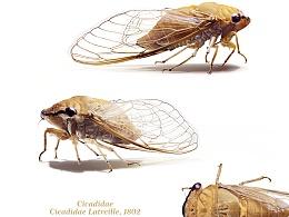 昆虫之美®蝉  Cicadidae Cicadidae Latreille, 1802