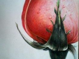 彩铅画---玫瑰