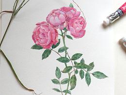 原创水彩画 水彩花卉 蔷薇