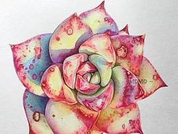 彩铅手绘多肉植物