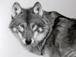 动物素描-狼