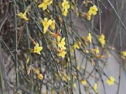 春天来了,路边的迎春花开了。路边拾景儿