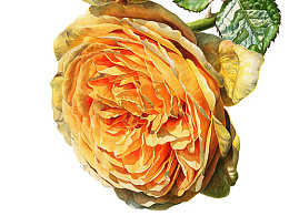 水彩黄玫瑰