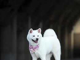 宠物摄影师Dante秋田犬白色