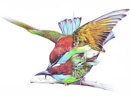 彩铅鸟类手绘——蓝喉蜂虎