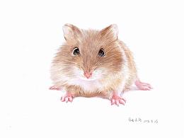 彩铅画仓鼠,基础班示范