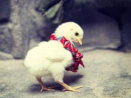 萌萌哒的小鸡