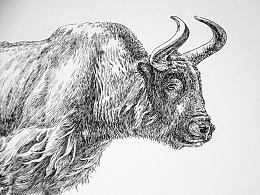高原之舟—牦牛
