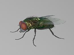 C4D 苍蝇