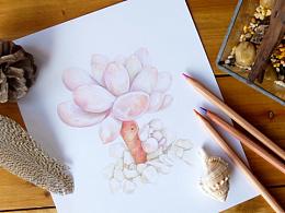 彩铅手绘多肉植物/婴儿手指