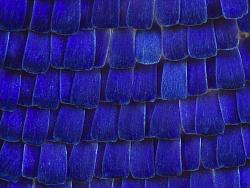 一组超微蝴蝶翅膀鳞片
