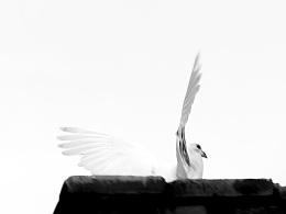 喀什飞鸽,你的前世今生!