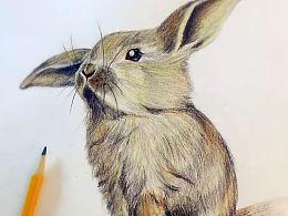 小画练习~~彩铅兔子!!