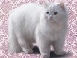 写实猫咪ICON