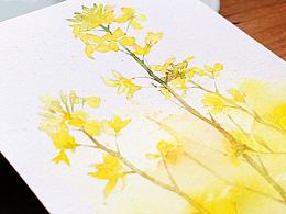 水彩花卉练笔--油菜花