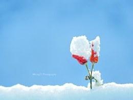 雪景-白里透红