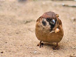 冬日里戏食的麻雀