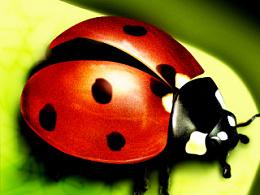 学网上教程临摹的一只瓢虫