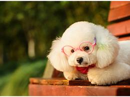 萌宝 【稻糕】宠物写真 宠物摄影 贵宾 杭州 泰迪