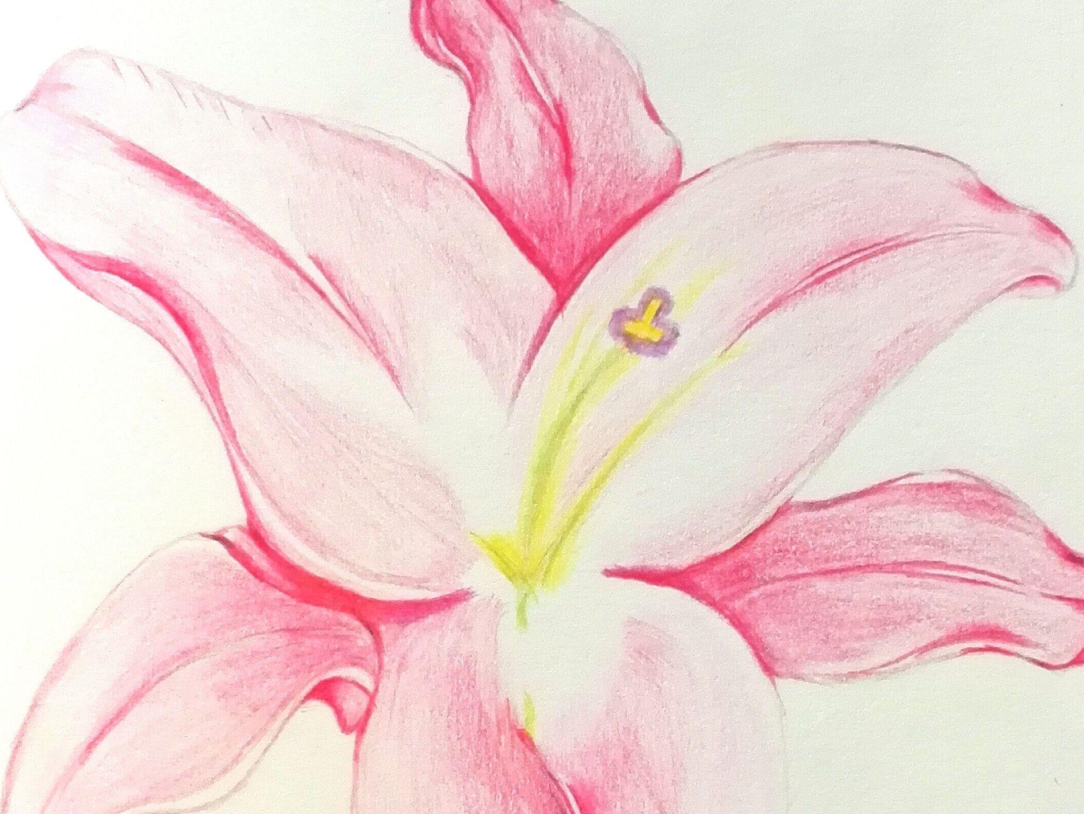 彩铅百合花