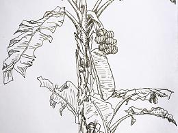 吝啬的香蕉树