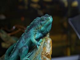 雅安绿 鬣蜥