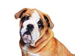 ZD彩色圆珠笔画 沙皮犬