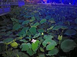 洪湖公园芙蓉亭夜赏荷花