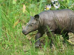 动物gk涂装 苏门答腊犀牛展示