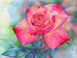画一朵玫瑰,㊗️有情人终成眷属