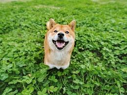 kuma 【稻糕】 宠物摄影 宠物写真 杭州 柴犬