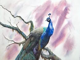蓝孔雀-水彩教程