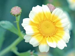家乡的茼蒿花