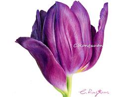 【溶萱彩铅手绘】紫色郁金香