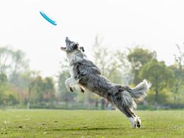 美宝 【稻糕】 宠物摄影 宠物写真 杭州 边牧 狗狗