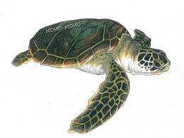 momo的彩铅世界,彩铅手绘各种龟