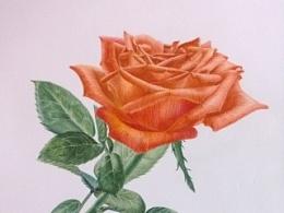 魅惑玫瑰图片_魅惑玫瑰-圆珠笔