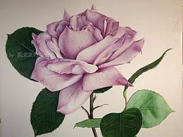 【彩铅手绘】【玫瑰】