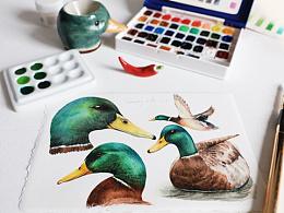 水彩 绿头鸭