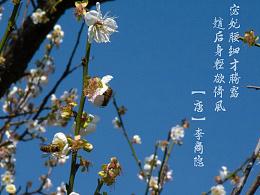 梅花-广州萝岗香雪