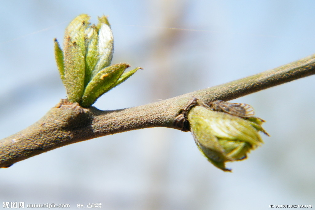 春天大树发芽  gif