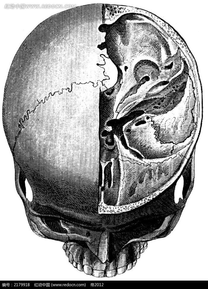 骷髅头盖骨手绘图图片